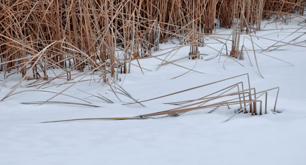 Bent cattails in the ice