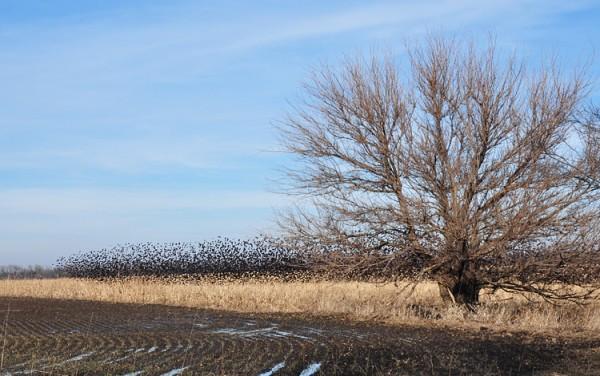 40,000 blackbirds and a tree
