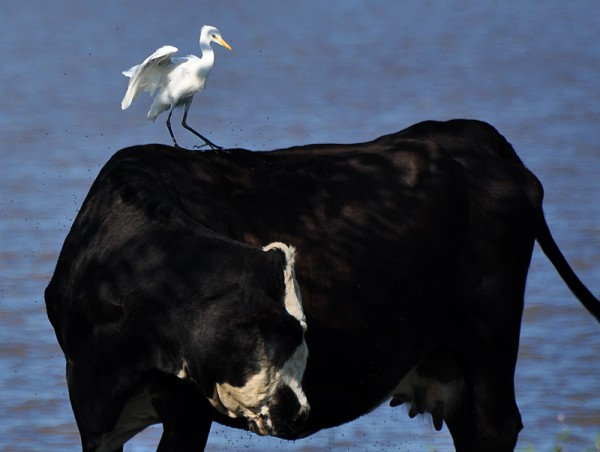 cattle-egret-bumpyride