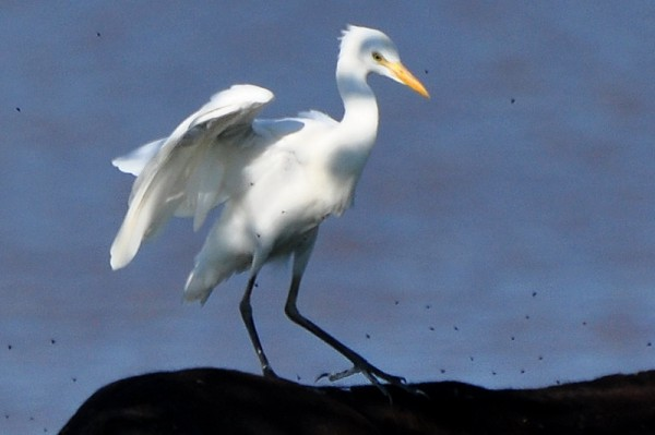 cattle-egret-bumpyride-detail