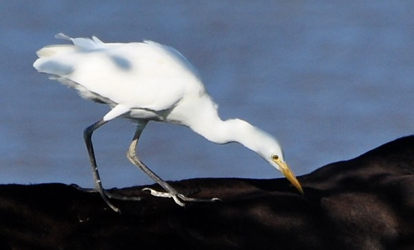 cattle-egret-pecking