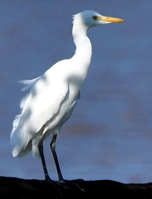 attle-egret-vertical