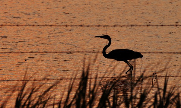 lakesunset-heron2