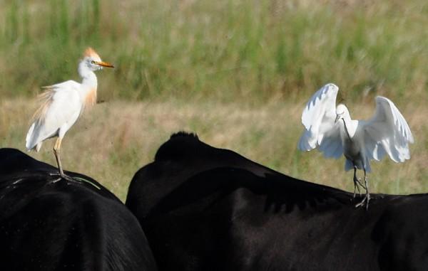 orangeandwhite-cattle-egrets