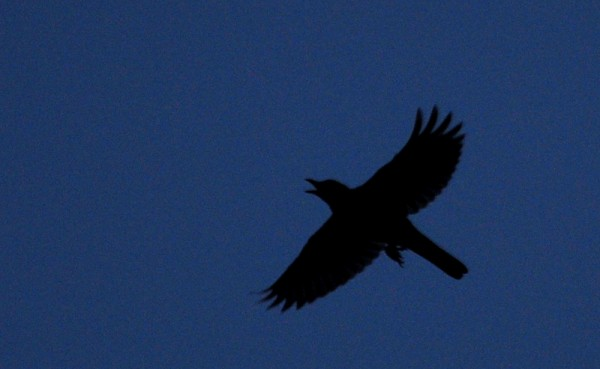 Crow, I think