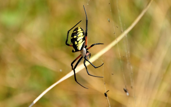 big yellow and black spider