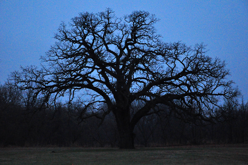 cottonwood at dawn